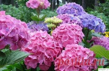 Гортензия – чудесное растение с роскошными цветами. Оно любит «покушать». — Садоводка