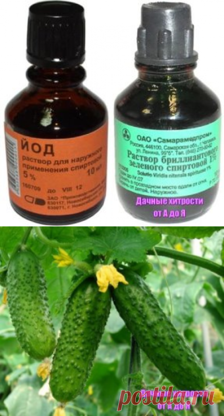 (7) Schoolmates IODINE AND BRILLIANT GREEN WILL INCREASE the HARVEST of CUCUMBERS AND WILL RESCUE FROM DISEASES!