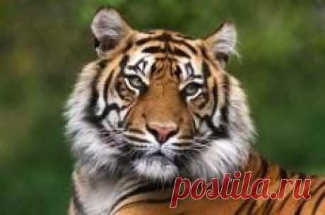 """Сегодня 25 сентября отмечается """"День тигра на Дальнем Востоке"""""""