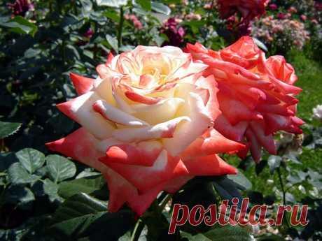 12 причин угнетающие розу. болезни и вредители роз — Садоводка