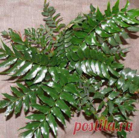 Циртомиум серповидный, падуб, остролист. | мир растений