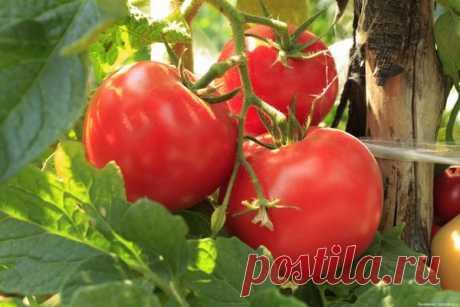 Ускоряем созревание помидоров и увеличиваем их урожай в 2 раза - дедовский рецепт   Дневник садовода   Яндекс Дзен