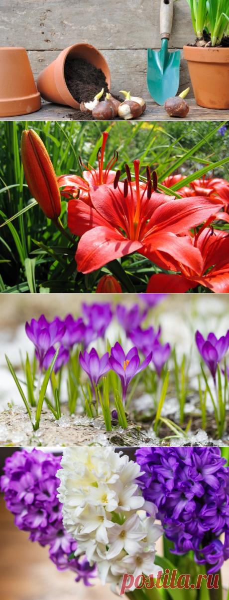 Когда пересаживать луковичные – тюльпаны, нарциссы, лилии и другие цветы |  (Огород.ru)
