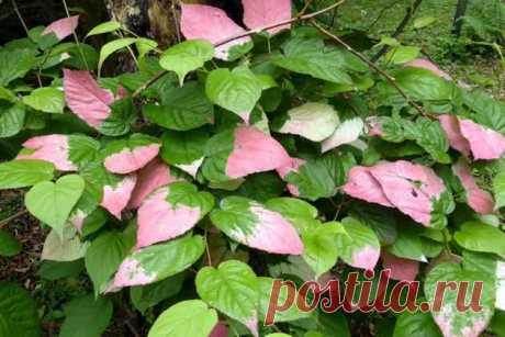 Актинидия коломикта – растение двойного назначения В садах стала встречаться актинидия коломикта –декоративная лиана с вкусными и полезными плодами. Ею также можно озеленить веранду, беседку.