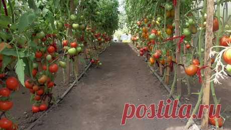 Какие сорта томатов нужно сеять в первую очередь? | Огородная азбука Ольги Черновой. | Яндекс Дзен