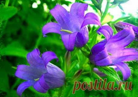 Луговые цветы колокольчики