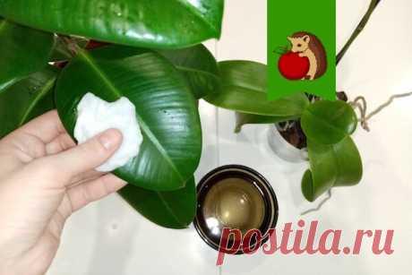 Что добавить в воду, протирая листья растений от пыли, чтобы те блестели, были здоровыми и плотными: 5 рецептов | садоёж | Яндекс Дзен