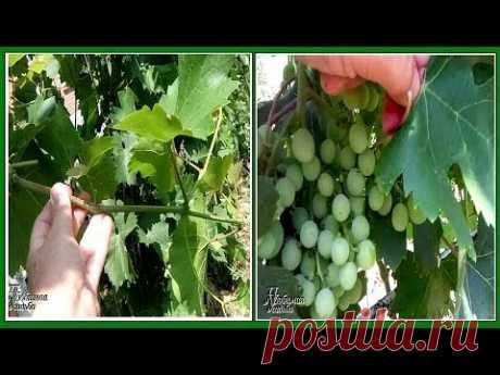 Уход за виноградом в июле  Что можно и что нужно сделать обязательно