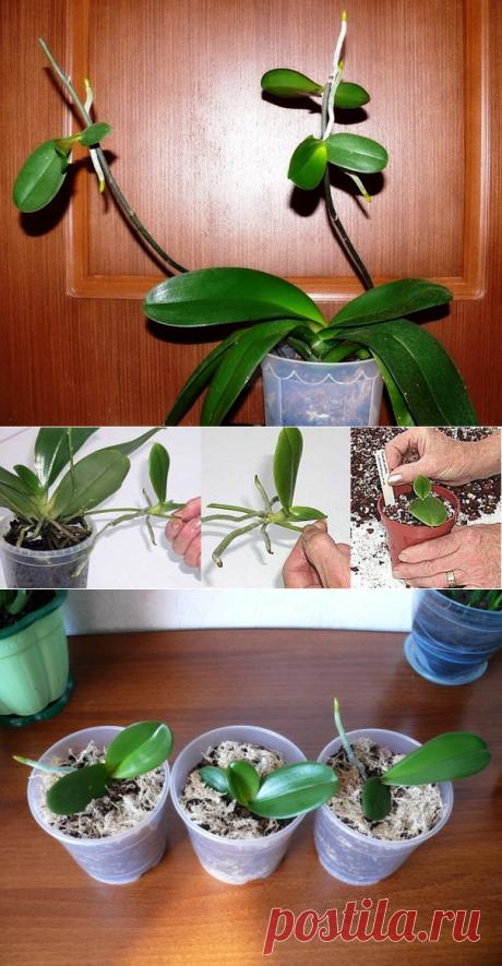 Как размножать орхидею фаленопсис, все методы с пошаговой инструкцией   Цветовод-Консалтинг