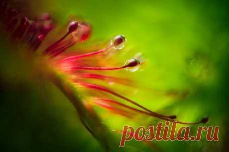 Макрофотографии плотоядных растений Финский фотограф-натуралист Йони Ниемела (Joni Niemela), благодаря своим макрофотографиям крошечных растений, сумел показать красоту, которую, скорее всего, мы бы с вами пропустили или просто не обратили внимания.