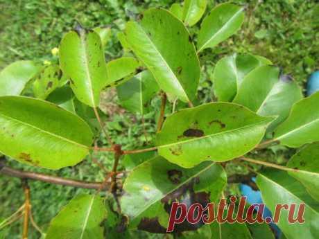 Черные пятна на листьях груши и яблони. Что это и как лечить?