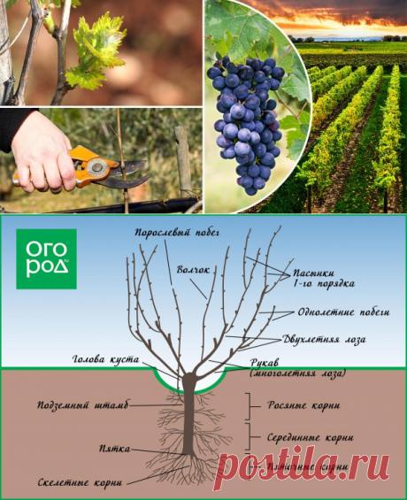 Обрезка винограда весной – пошаговая инструкция для начинающих с видео | В саду (Огород.ru)