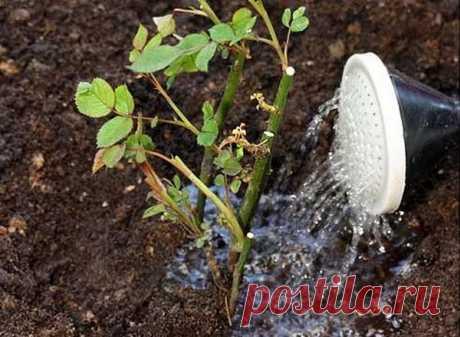 Правильная подкормка роз в зиму?   Vusadebke.com   Яндекс Дзен