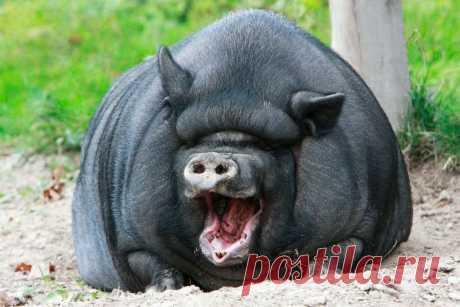 Самый эффективный откорм свиней: на мясо, сало и бекон - чтобы быстро росли Самый эффективный и выгодный откорм свиней в домашних условиях. Как откармливать поросят на мясо, сало, бекон, что более экономно. Правильное кормление поросят от 1 до 6 месяцев: чем и как кормить, чтобы быстро росли. Выбор свиного корма, введение в рацион тыквы, свеклы и других овощей. Практические советы и рекомендации по составлению рациона.