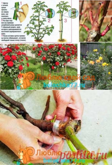 Как привить розу на шиповник правильно. Пошаговая инструкция с фото, видео