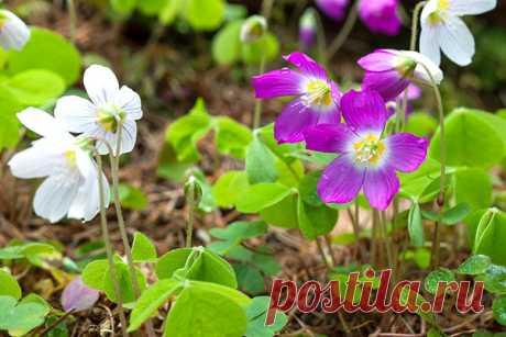Photo with the description of garden and room types an oxafox of a kislitsa