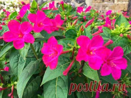 Цветковое растение мирабилис (Mirabilis) является представителем семейства никтагиновые. Данный род объединяет больше 50 видов.