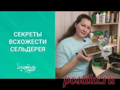 Секреты всхожести сельдерея. Урожай ранней витаминной зелени. СЕЗОН 2020