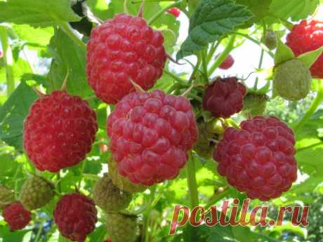 Easy way to double a raspberry harvest — 6 hundred parts