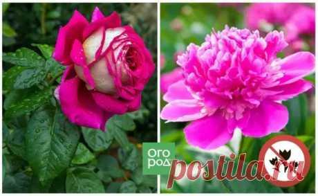 Какие цветы нельзя сажать рядом – 10 самых неудачных сочетаний - Цветочки - медиаплатформа МирТесен