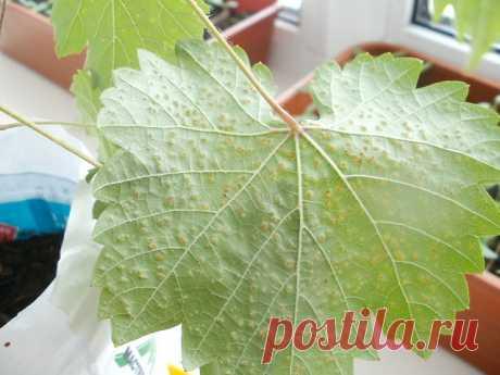 На листьях винограда появились пянтышки.Что это? Что делать?