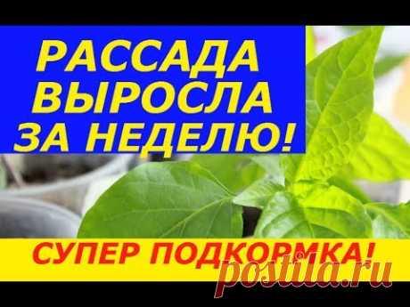 С ТАКОЙ ПОДКОРМКОЙ РАССАДА РАСТЕТ В РАЗЫ БЫСТРЕЕ И НЕ БОЛЕЕТ ! - YouTube