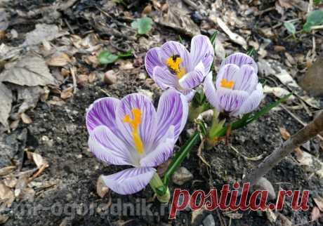Нужно ли выкапывать крокусы после цветения и когда это делать