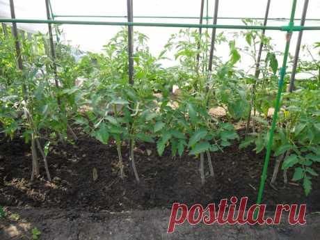 Выращивание помидоров по два корня в лунке | Виктор Сергеенко | Яндекс Дзен
