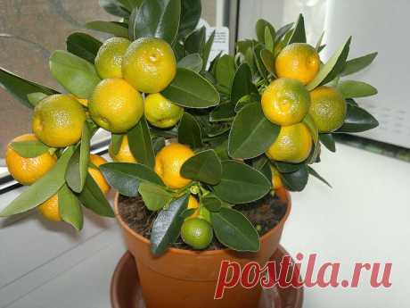 How to grow up tangerine from a stone in house conditions?