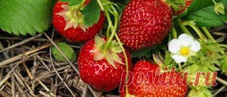 Подкормка клубники весной для большого урожая Подкормка клубники весной для большого урожая. Правила и сроки подкормки. Как правильно подкормить дрожжами, йодом, борной кислотой и другими народными.