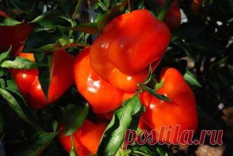 Как вырастить перец крупный и яркий — 6 соток