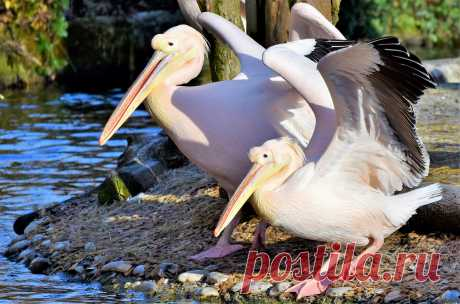 Птицу пеликан узнает даже маленький ребёнок. Только у него есть своеобразный клюв. Вот только на всём земном шаре насчитывается всего восемь видов этих птиц.