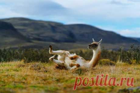 У кого-то в важных делах ещё конь не валялся, а в Чили уже гуанако валяется, вы только посмотрите! Момент поймал Виталий Ионов: nat-geo.ru/photo/user/343700/