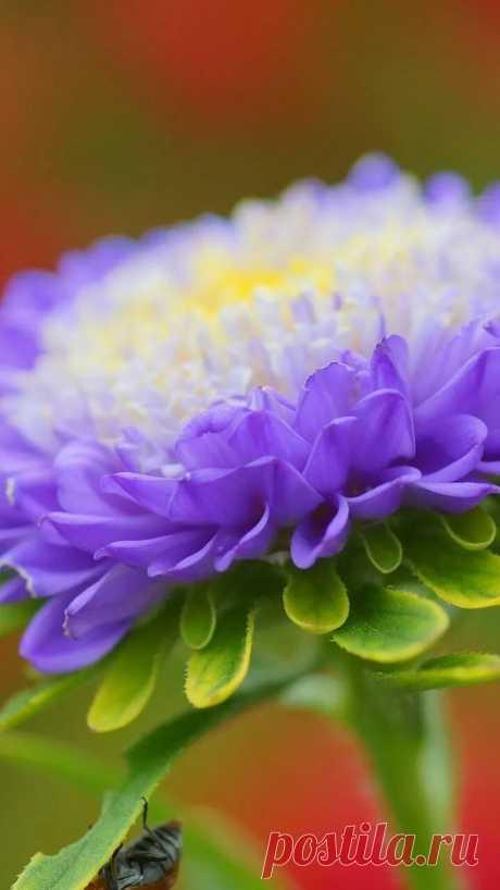 Скачать обои цветок, фиолетовый, астра, раздел цветы в разрешении 720x1280 в Яндекс.Коллекциях