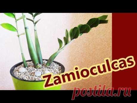 Долларовое дерево 🔴 Замиокулькас 🔴 Пересадка и уход за долларовым деревом - YouTube