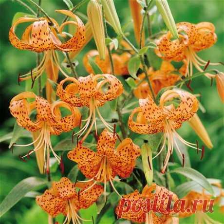 Середина августа — пора пересаживать лилии — Делаем руками