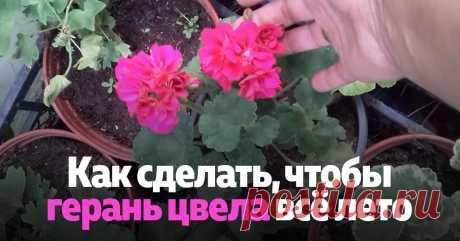 При каких условиях герань цветет обильно всё лето.