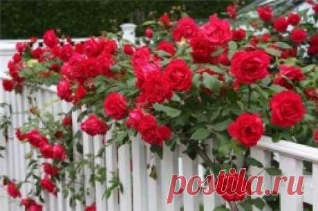 Какая подкормка нужна розам - Садоводка