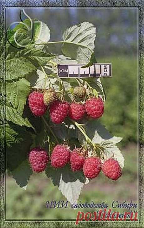 Сорта малины - НИИCC имени М.А. Лисавенко