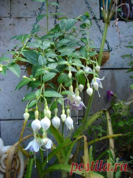 HeRi Panache Полуампельная фуксия. Цветы средние, махровые, обильно цветущий сорт. Не капризен.