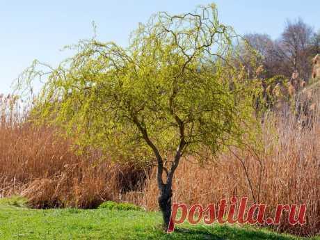 Ива Матсудана — ажурная красавица для вашего сада. Как выращивать? Фото — Ботаничка.ru