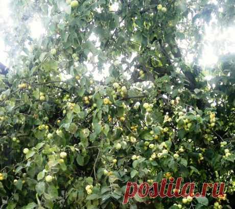 Как сохранить яблоневый сад в холодную зиму, когда морозы больше -25 град. Большинство районированных сортов яблонь (Синап северный, Антоновка, Анис полосатый, Пепин шафранный и т.д.) зимостойки. Они выдерживают зимы с морозами до - 25 град. Однако в зимы с сильными морозами (ниже - 30 град.) у деревьев многих сортов повреждаются кора и древесина в развилках,...