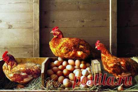 Подскажите, возможно ли на лето (с апреля по ноябрь) завести кур-несушек? У кого есть опыт? Дайте советы, пожалуйста! Если приезжать на дачу только в выходные, куры смогут быть одни пять дней? Хочется побаловать внука свежими яйцами...