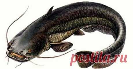 Секрет приманки для ловли сома      Для ловли сома  выбор приманки важный этап рыбалки. Есть небольшой секрет улучшить число подходов хищников к крючку с рыболовной наживк...
