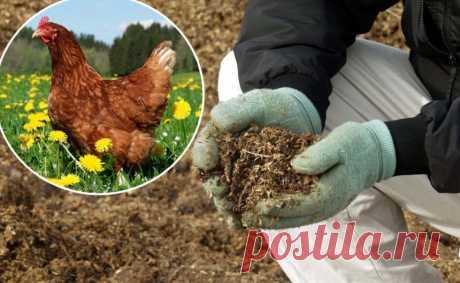 Куриный помет: приготовление удобрения и особенности его использования для растений в саду огороде. Одно из самых чистых и эффективных удобрений из куриного помета: