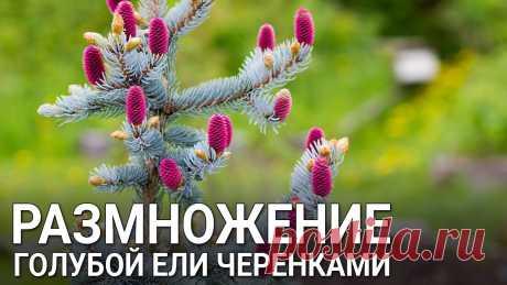 Размножение голубой ели черенками Размножение голубой ели черенками. Хвойные растения можно размножать даже зимой. Какие черенки ели брать для размножения, как посадить черенки ели, смотрите ...