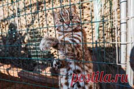 Дальневосточный лесной кот.