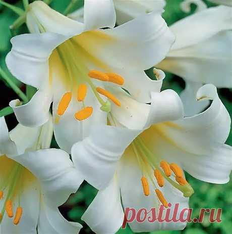 Размножение лилии бульбочками.