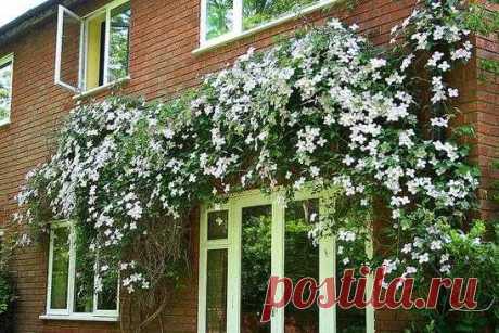 Клематис белый мелкоцветковый фото – особенности растения, агротехника, посадка, обрезка, сочетание с другими растениями, применение в ландшафтном дизайне