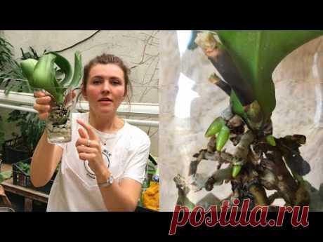 РЕАНИМАЦИЯ ОРХИДЕИ без корней.  Разбор ошибок.  Мой стопроцентный способ отрастить корни у орхидеи.